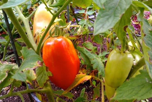 Photo roma plum tomato